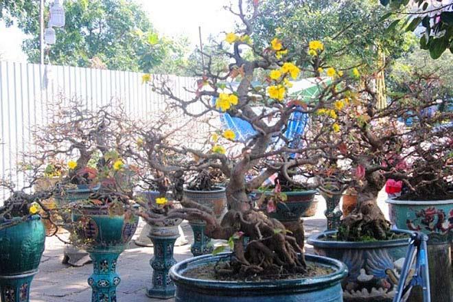 Mai bonsai cổ thụ giá bạc triệu ùn ùn xuống phố tìm đại gia dịp Tết - 11