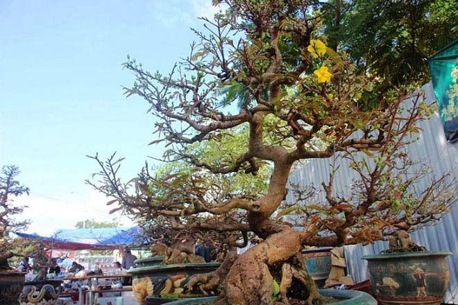 Mai bonsai cổ thụ giá bạc triệu ùn ùn xuống phố tìm đại gia dịp Tết - 3