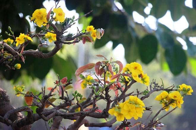 Mai bonsai cổ thụ giá bạc triệu ùn ùn xuống phố tìm đại gia dịp Tết - 6