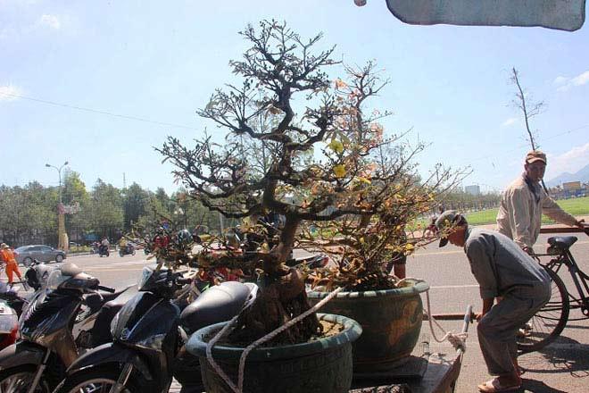 Mai bonsai cổ thụ giá bạc triệu ùn ùn xuống phố tìm đại gia dịp Tết - 7