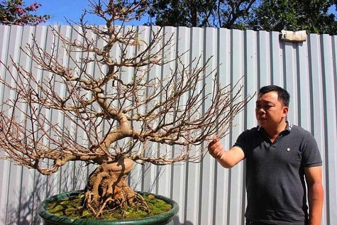 Mai bonsai cổ thụ giá bạc triệu ùn ùn xuống phố tìm đại gia dịp Tết - 9