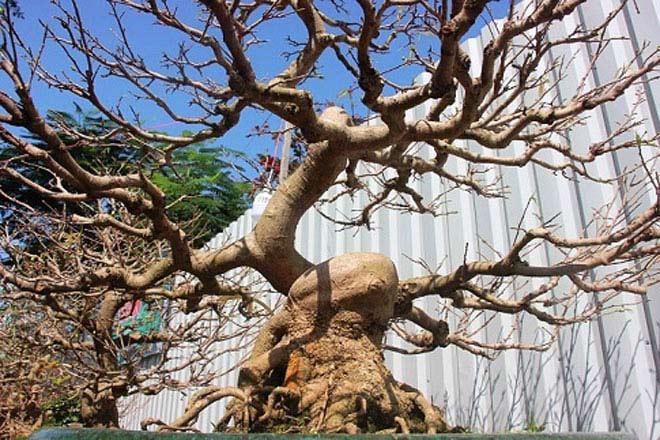 Mai bonsai cổ thụ giá bạc triệu ùn ùn xuống phố tìm đại gia dịp Tết - 10