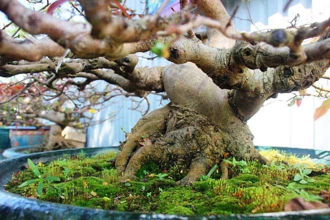 Mai bonsai cổ thụ giá bạc triệu ùn ùn xuống phố tìm đại gia dịp Tết - 5
