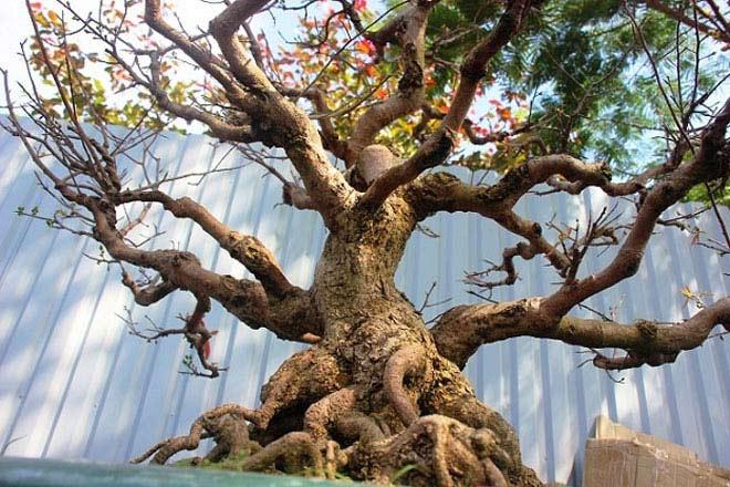 Mai bonsai cổ thụ giá bạc triệu ùn ùn xuống phố tìm đại gia dịp Tết - 1