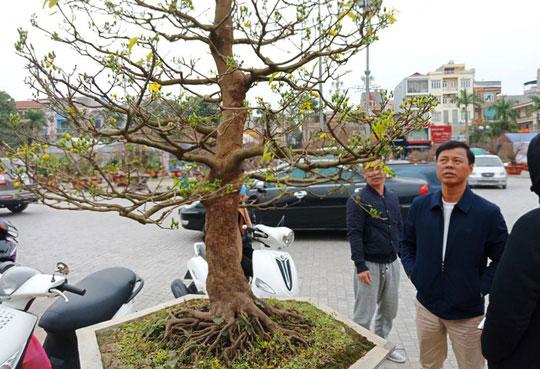 """Cây mai """"khủng"""" đặt đại gia Ninh Bình mua ví 180 triệu cùng - 6"""