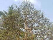 Thị trường - Tiêu dùng - Chiêm ngưỡng cây mai 90 năm tuổi được rao bán 1,6 tỉ đồng ở Cần Thơ