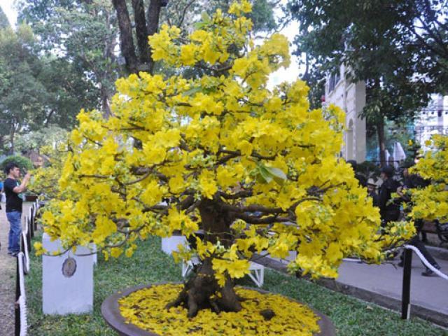 Săn lão mai vàng trên non thiêng Yên Tử - 4