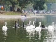 Tin tức trong ngày - Thả thiên nga ở Hồ Gươm: Chín người mười ý