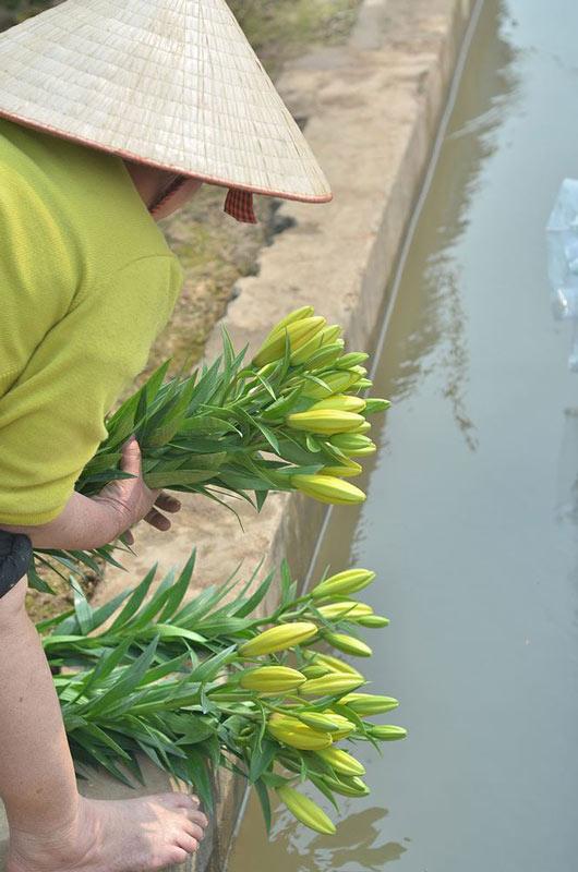 Các chủ vựa hoa to nhất nhì Hà Nội khóc vì hoa ly nở chậm - 9