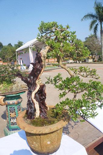 """La liệt bonsai độc địa bằng ví hết lượng vàng """"đại náo"""" thị trường Tết 2018 - 1"""