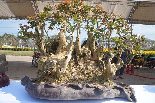 """La liệt bonsai độc địa bằng ví hết lượng vàng """"đại náo"""" thị trường Tết 2018 - 11"""