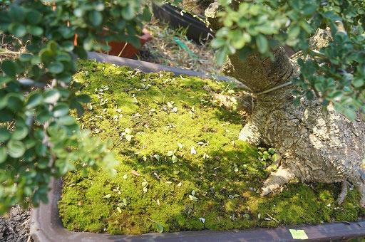 """La liệt bonsai độc địa bằng ví hết lượng vàng """"đại náo"""" thị trường Tết 2018 - 12"""