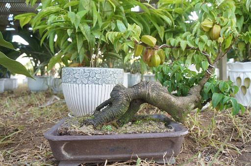 """La liệt bonsai độc địa bằng ví hết lượng vàng """"đại náo"""" thị trường Tết 2018 - 5"""