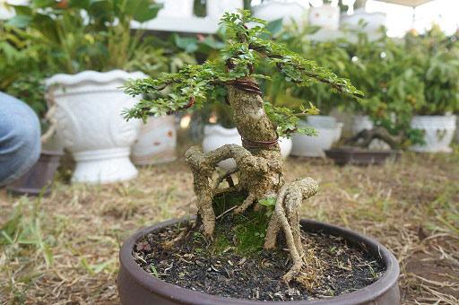 """La liệt bonsai độc địa bằng ví hết lượng vàng """"đại náo"""" thị trường Tết 2018 - 7"""