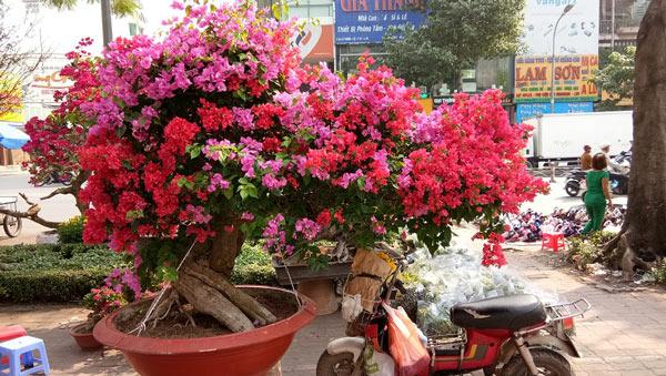 """Mãn nhãn hoa giấy Mỹ dáng """"quái vật"""" giá 40 triệu/cây đổ bộ Sài Gòn - 1"""