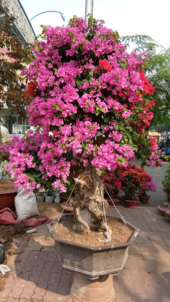 """Mãn nhãn hoa giấy Mỹ dáng """"quái vật"""" giá 40 triệu/cây đổ bộ Sài Gòn - 2"""