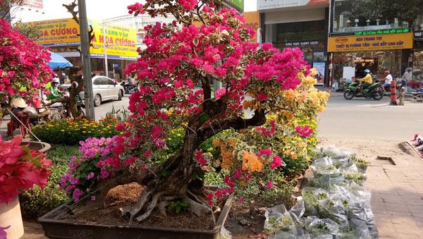 """Mãn nhãn hoa giấy Mỹ dáng """"quái vật"""" giá 40 triệu/cây đổ bộ Sài Gòn - 3"""