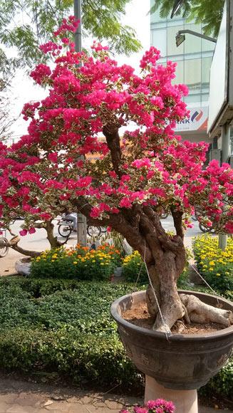 """Mãn nhãn hoa giấy Mỹ dáng """"quái vật"""" giá 40 triệu/cây đổ bộ Sài Gòn - 4"""