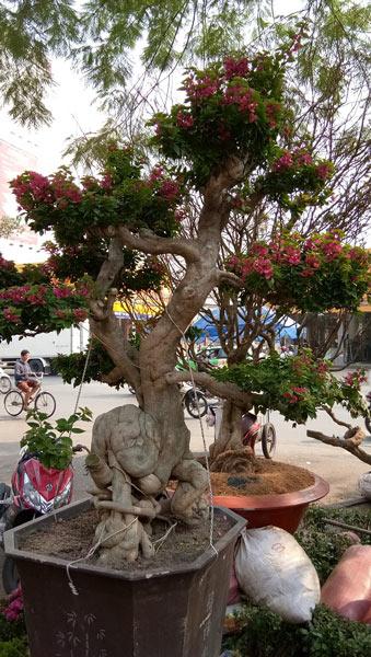 """Mãn nhãn hoa giấy Mỹ dáng """"quái vật"""" giá 40 triệu/cây đổ bộ Sài Gòn - 5"""