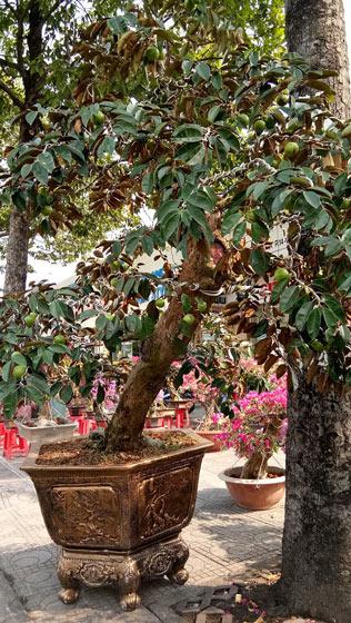 """Mãn nhãn hoa giấy Mỹ dáng """"quái vật"""" giá 40 triệu/cây đổ bộ Sài Gòn - 6"""