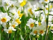 Tin tức trong ngày - 10 loại hoa mang lại may mắn, tài lộc ngày Tết