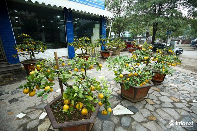 Bên cạnh đào, mai, quất, năm nay thị trường cây cảnh Tết ở Hà Nội xuất hiện thêm một loại mới là chanh vàng bonsai có giá hơn chục triệu được rất nhiều người lựa chọn làm cây cảnh chơi trong dịp Tết năm nay.
