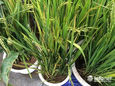 Hà Nội: Ngô, lúa trổ bông vào chậu cảnh chơi Tết - 4