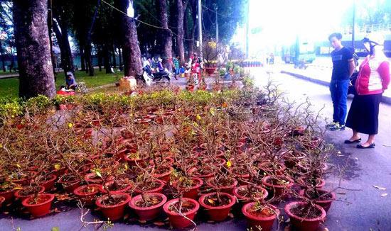 """Mai bonsai """"tí hon"""" chơi Tết hút khách ở Sài Gòn - 1"""