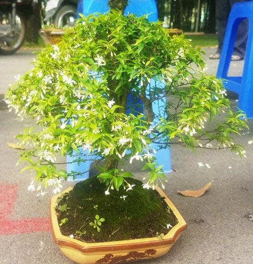 """Mai bonsai """"tí hon"""" chơi Tết hút khách ở Sài Gòn - 11"""