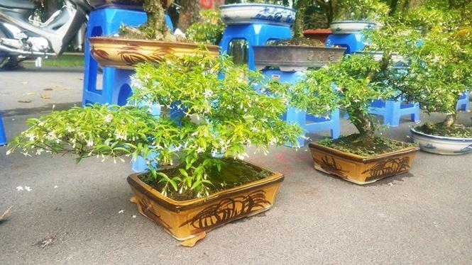"""Mai bonsai """"tí hon"""" chơi Tết hút khách ở Sài Gòn - 12"""