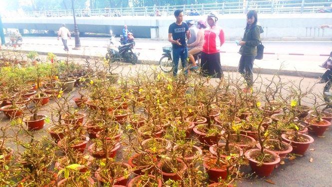 """Mai bonsai """"tí hon"""" chơi Tết hút khách ở Sài Gòn - 17"""