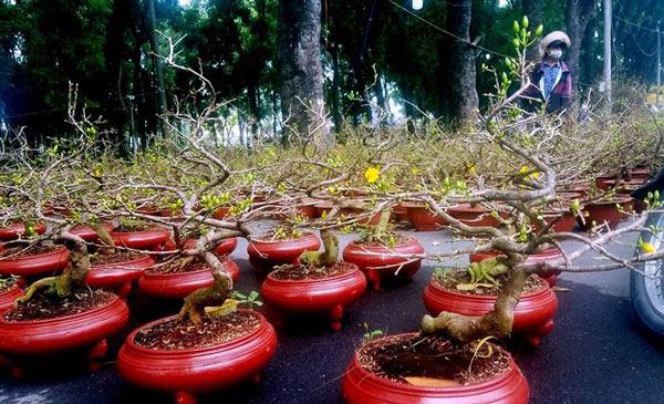 """Mai bonsai """"tí hon"""" chơi Tết hút khách ở Sài Gòn - 3"""