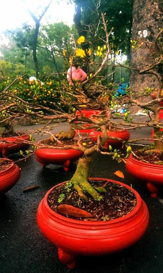 """Mai bonsai """"tí hon"""" chơi Tết hút khách ở Sài Gòn - 6"""