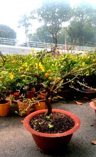 """Mai bonsai """"tí hon"""" chơi Tết hút khách ở Sài Gòn - 7"""