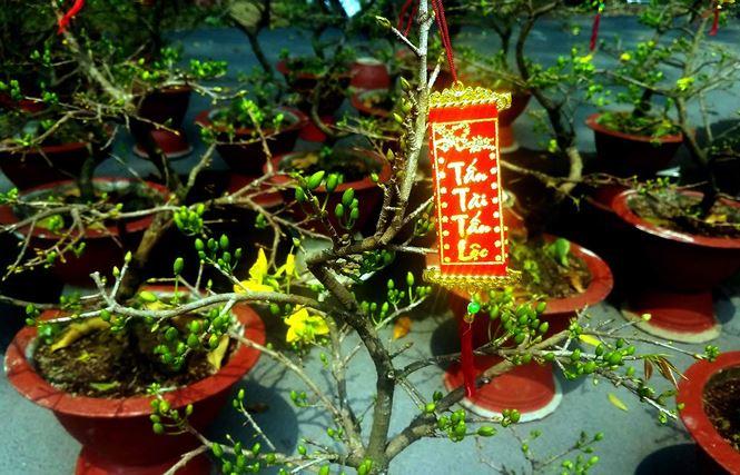 """Mai bonsai """"tí hon"""" chơi Tết hút khách ở Sài Gòn - 9"""