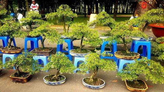 """Mai bonsai """"tí hon"""" chơi Tết hút khách ở Sài Gòn - 10"""