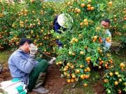Thị trường - Tiêu dùng - Mùa hốt tiền tỷ ở 'thủ phủ' quất cảnh Tết sát Hà Nội