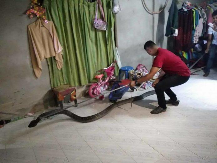 Thái Lan: Kinh hãi hổ mang chúa khổng lồ 5 mét mò vào nhà dân - 3