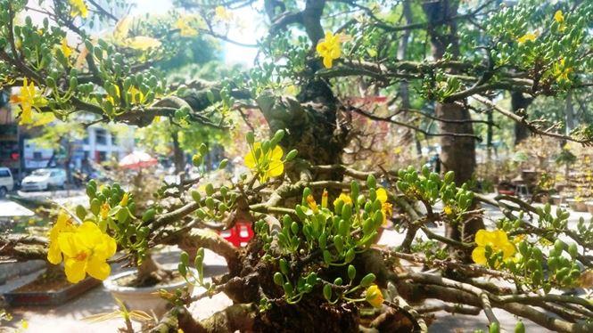 Hai cây mai trăm tuổi thế tuyệt đẹp giá gần 5 tỉ đồng ở Sài Gòn - 11