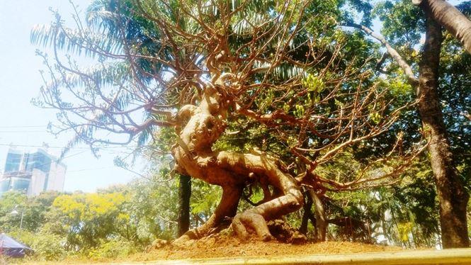 Hai cây mai trăm tuổi thế tuyệt đẹp giá gần 5 tỉ đồng ở Sài Gòn - 15