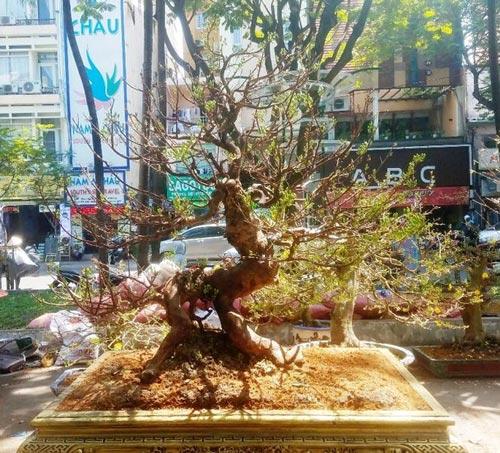 Hai cây mai trăm tuổi thế tuyệt đẹp giá gần 5 tỉ đồng ở Sài Gòn - 3