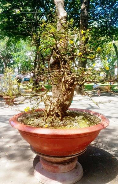 Hai cây mai trăm tuổi thế tuyệt đẹp giá gần 5 tỉ đồng ở Sài Gòn - 4