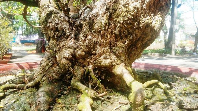 Hai cây mai trăm tuổi thế tuyệt đẹp giá gần 5 tỉ đồng ở Sài Gòn - 5