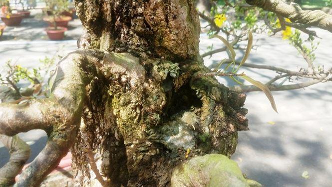 Hai cây mai trăm tuổi thế tuyệt đẹp giá gần 5 tỉ đồng ở Sài Gòn - 6