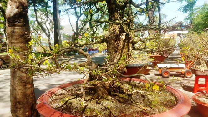 Hai cây mai trăm tuổi thế tuyệt đẹp giá gần 5 tỉ đồng ở Sài Gòn - 8