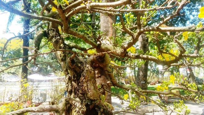 Hai cây mai trăm tuổi thế tuyệt đẹp giá gần 5 tỉ đồng ở Sài Gòn - 9