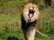 Nam Phi: Đi săn sư tử, bị vồ chết và ăn thịt dã man