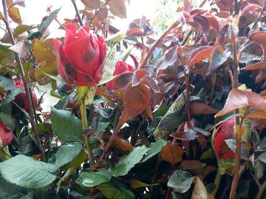 Bất ngờ: Hoa hồng thờ Tết đắt gấp 10 lần mà vẫn cháy hàng - 2