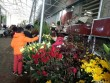 Bất ngờ: Hoa hồng thờ Tết đắt gấp 10 lần mà vẫn cháy hàng