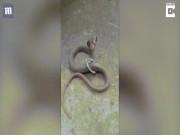 Ấn Độ: Giải cứu rắn hổ mang chúa mắc kẹt trong vòng sắt